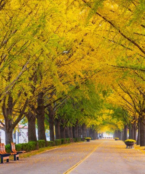 Autumn at Asan Gingko Tree Road in Seoul,South Korea.